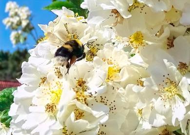 2021-06-20 LüchowSss Garten vomi Büschelrose (Rosa multiflora) + Erdhummel (Bombus lucorum-terrestris-Komplex) (1)