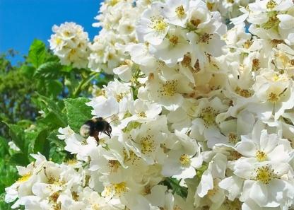 2021-06-20 LüchowSss Garten vomi Büschelrose (Rosa multiflora) + Erdhummel (Bombus lucorum-terrestris-Komplex)