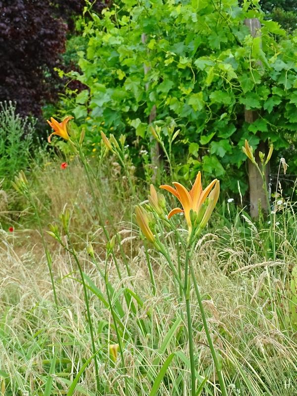 2021-06-21 LüchowSss Garten Braunrote Taglilie (Hemerocallis fulva)