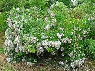 2021-06-21 LüchowSss Garten Büschelrose (Rosa multiflora) nach Gewitterregen (1)