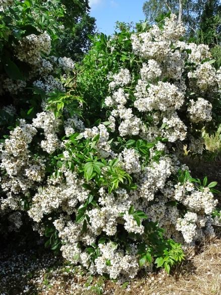 2021-06-21 LüchowSss Garten Büschelrose (Rosa multiflora) nach Gewitterregen (2)