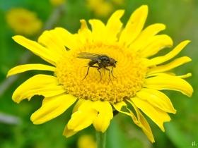 2021-06-22 LüchowSss Garten Färberkamille (Anthemis tinctoria) + Fliege