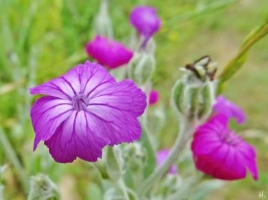 2021-06-22 LüchowSss Garten Vexier- bzw. Kronen-Lichtnelken (Lychnis coronaria) marmoriert