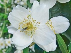 2021-06-23 LüchowSss Garten Bauernjasmin bzw. Europ. Pfeifenstrauch (Philadelphus coronarius) + Fliege