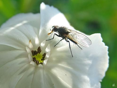 2021-06-23 LüchowSss Garten Vexier- bzw. Kronen-Lichtnelke (Lychnis coronaria) + Fliege
