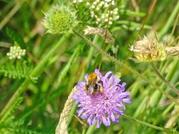 2021-06-25 LüchowSss Garten Acker-Witwenblume (Knautia arvensis) + Ackerhummel (Bombus pascuorum)