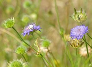 2021-06-25 LüchowSss Garten Acker-Witwenblume(Knautia arvensis) + Veränderliche Krabbenspinne (Misumena vatia) + vermutl. Echte Blattwespe