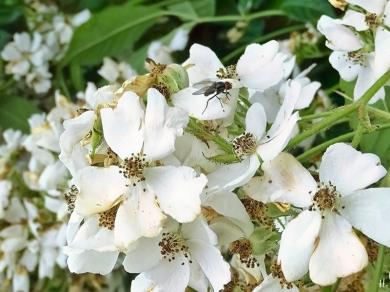 2021-06-25 LüchowSss Garten Büschelrose (Rosa multiflora) + Fliege