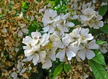 2021-06-25 LüchowSss Garten Büschelrose(Rosa multiflora) blühend und Verblühtes