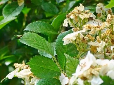 2021-06-25 LüchowSss Garten Büschelrose(Rosa multiflora) + Langfühlermotte (1)