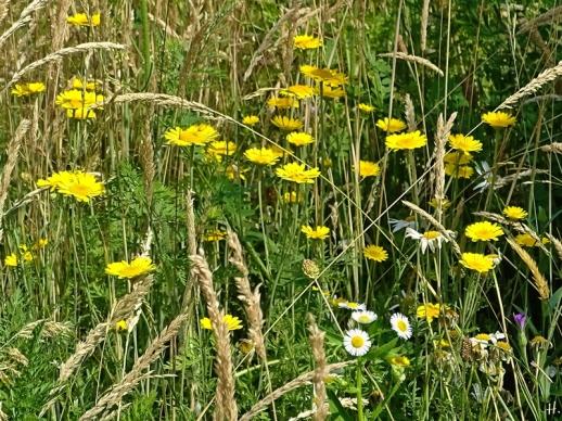 2021-06-25 LüchowSss Garten Wieseninsel mit Färberkamille (Anthemis tinctoria)