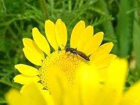 2021-06-26 LüchowSss Garten Färberkamille (Anthemis tinctoria) + evtl. Scherenbiene