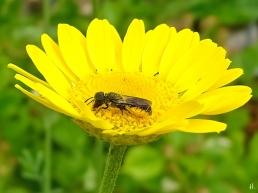 2021-06-26 LüchowSss Garten Färberkamille (Anthemis tinctoria) + Gemeine Löcherbiene (Heriades truncorum)