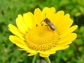 2021-06-26 LüchowSss Garten Färberkamille (Anthemis tinctoria) + vermutl. Gemeine Seidenbiene (Colletes daviesanus) (2)