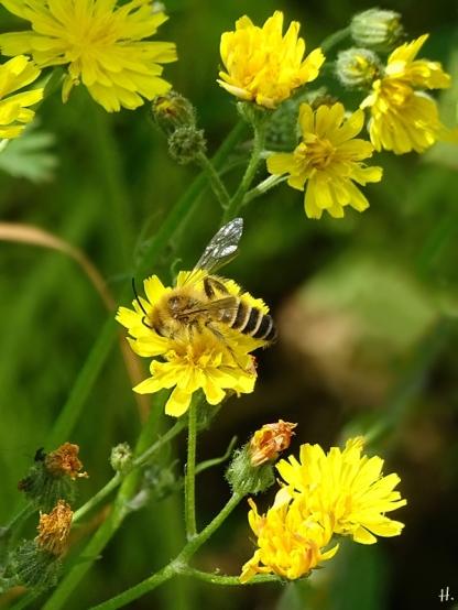 2021-06-26 LüchowSss Garten Kleinköpfiger Pippau (Crepis capillaris) + Gemeine Seidenbiene (Colletes daviesanus)