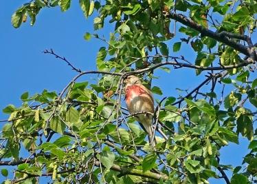 2021-06-27 LüchowSss Garten Birke (Betula) + Bluthänfling (Carduelis cannabina) (1)