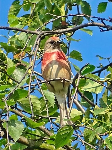2021-06-27 LüchowSss Garten Birke (Betula) + Bluthänfling (Carduelis cannabina) (2)