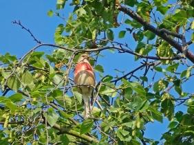 2021-06-27 LüchowSss Garten Birke (Betula) + Bluthänfling (Carduelis cannabina) (3)