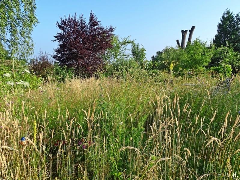 2021-06-27 LüchowSss Garten Wieseninsel m. Acker-Witwenblumen