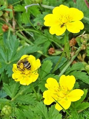 2019-06-16 LüchowSss Garten Kriechendes Fingerkraut + Furchenbiene