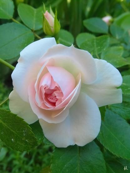 2021-06-17 LüchowSss Garten Beet-Rose 'Aspirin' (Tantau)