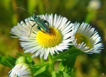 2021-06-18 LüchowSss Garten Feinstrahl bzw. Einjähriges Berufkraut (Erigeron annuus) + Grüner Scheinbockkäfer (Oedemera nobilis)