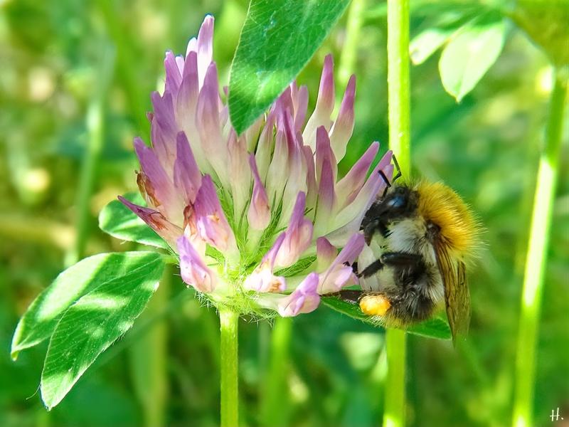 2021-06-18 LüchowSss Garten Rotklee (Trifolium pratense) + Ackerhummel (Bombus pascuorum) (2)