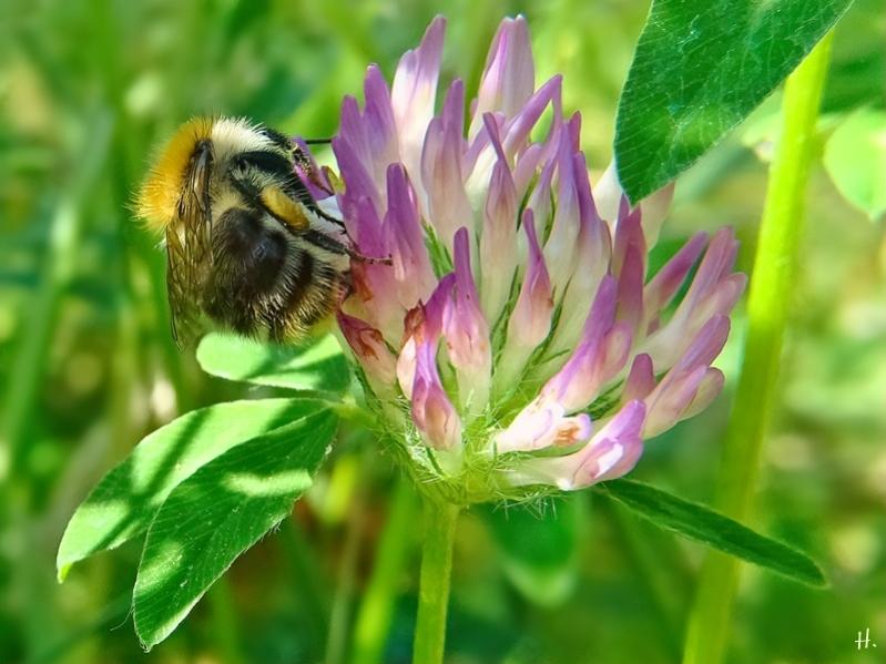 2021-06-18 LüchowSss Garten Rotklee (Trifolium pratense) + Ackerhummel (Bombus pascuorum) (3)