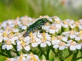 2021-06-18 LüchowSss Garten weibl. Grüner Scheinbockkäfer (Oedemera nobilis) auf Wiesen-Schafgarbe (Achillea millefolium)