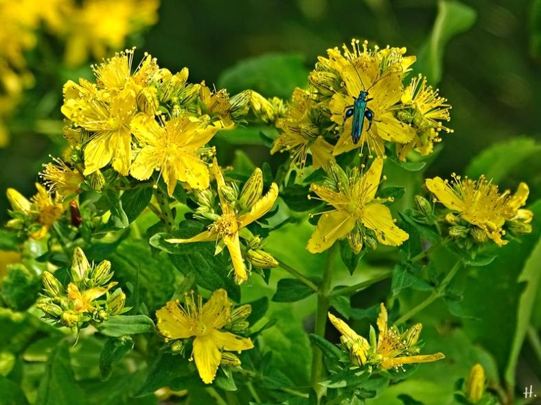 2021-06-19 LüchowSss Garten Getüpfeltes Johanniskraut (Hypericum perforatum) + Grüner Scheinbockkäfer (Oedemera nobilis) m.