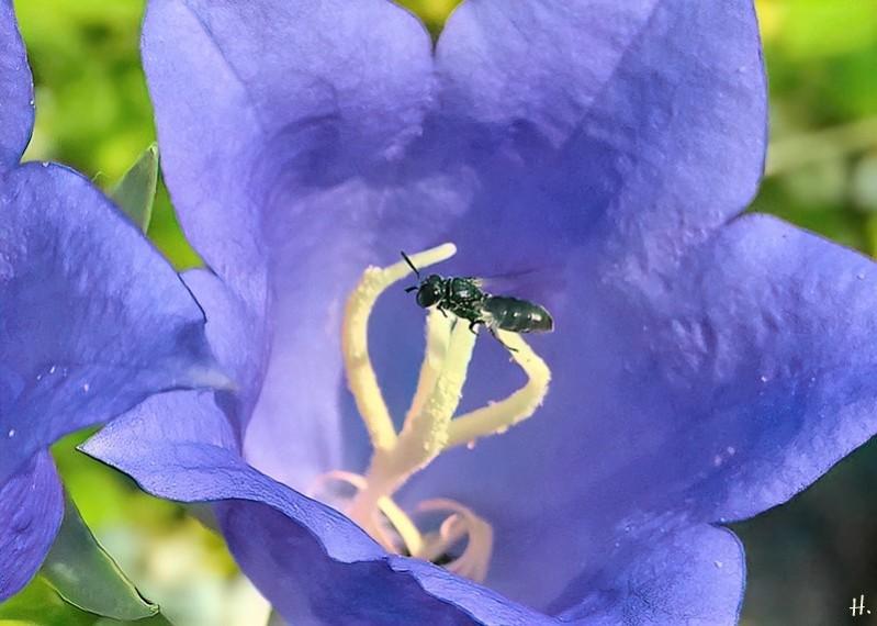 2021-06-19 LüchowSss Garten Pfirsichblättrige Glockenblume (Campanula persicifolia) + entweder Frühe Glockenblumen-Scherenbiene (Chelostoma distinctum) oder Kleine Glockenblumen-Scherenbiene (Chelostoma campanularum) (2)