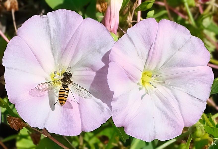2021-06-21 LüchowSss Garten Ackerwinde (Convolvulus arvensis) + Hain-Schwebfliege (Episyrphus balteatus)