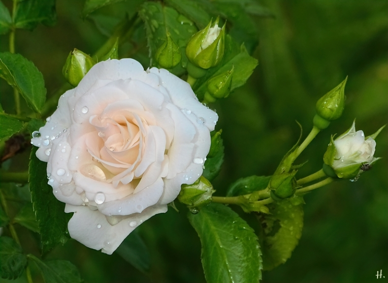 2021-06-21 LüchowSss Garten Beet-Rose 'Aspirin' (Tantau) nach Regen