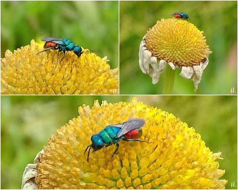 2021-06-21 LüchowSss Garten Gemeine Goldwespe (Chrysis ignita) auf verblühter Wiesen-Margerite (Leucanthemum vulgare) (1x3)