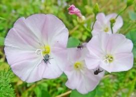 2021-06-22 LüchowSss Garten Ackerwinde (Convolvulus arvensis) + Graugrüner Schenkelkäfer (Oedemera virescens) + Fliegen