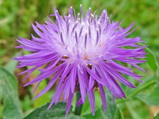 2021-06-22 LüchowSss Garten Wiesen-Flockenblume (Centaurea jacea)