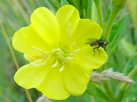 2021-06-23 LüchowSss Garten Gewöhnliche Nachtkerze (Oenothera biennis) + Fliege m. Verdauungsblase