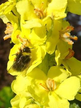 2021-06-23 LüchowSss Garten Kandelaber-Königskerze (verbascum olympicum) + Wiesenhummel (Bombus pratorum) (1)
