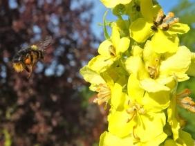 2021-06-23 LüchowSss Garten Kandelaber-Königskerze (verbascum olympicum) + Wiesenhummel (Bombus pratorum) (2)