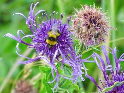 2021-06-23 LüchowSss Garten Wiesen-Flockenblume + vermutl. Gartenhummel (Bombus hortorum) (1)