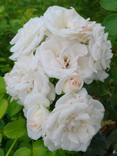 2021-06-24 LüchowSss Garten Beetrose 'Aspirin' (Tantau)