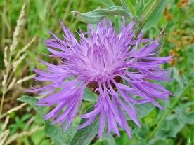 2021-06-24 LüchowSss Garten Wiesen-Flockenblume (Centaurea jacea)