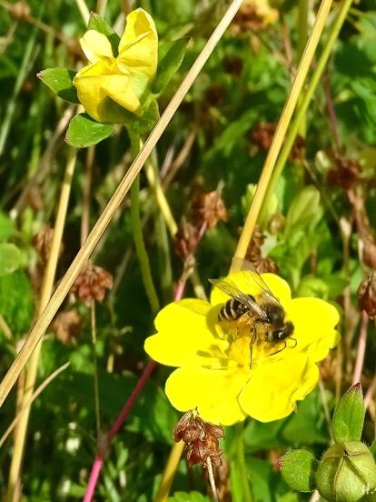 2021-06-25 LüchowSss Garten Kriechendes Fingerkraut (Potentilla reptans) + Wildbiene (2)