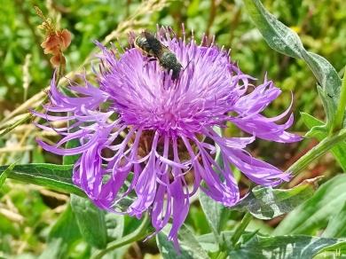 2021-06-25 LüchowSss Garten Wiesen-Flockenblume (Centaurea jacea) + bauchsammelnde Wildbiene (Megachile) (3)