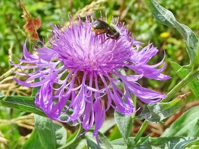 2021-06-25 LüchowSss Garten Wiesen-Flockenblume (Centaurea jacea) + bauchsammelnde Wildbiene (Megachile) (4)
