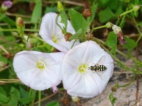 2021-06-26 LüchowSss Garten Ackerwinde (Convolvulus arvensis) + Mondflecken-Feldschwebfliege (Eupeodes luniger) (1)