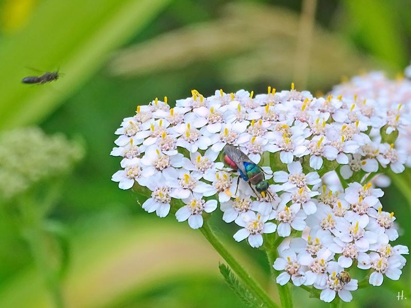 2021-06-26 LüchowSss Garten Wiesen-Schafgarbe (Achillea millefolium) + Bienenwolf-Goldwespe (Hedychrum rutilans)