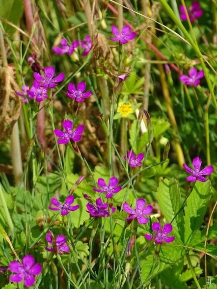 2021-06-26 LüchowSss Garten Heidenelken (Dianthus deltoides)