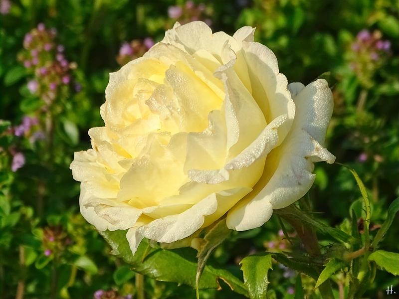 2021-06-27 LüchowSss Garten hellgelbe ehem. 'Mini'-Blumentopf-Rose