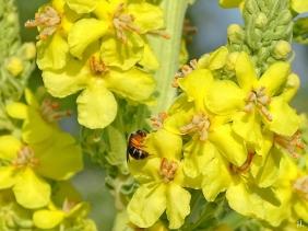 2021-06-27 LüchowSss Garten Kandelaber-Königskerze (Verbascum olympicum) + kl. Wildbiene (2)